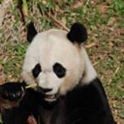 Really Great Panda Bear Chomping On A Fistful Of Bamboo Poster