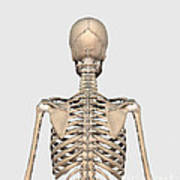 Rear View Of Human Skeletal System Poster