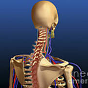 Rear View Of Human Spine And Scapula Poster
