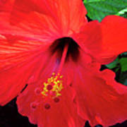 Reb Hibiscus Flower Poster