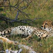 Reclining Cheetah 2 Poster