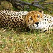 Reclining Cheetah Poster