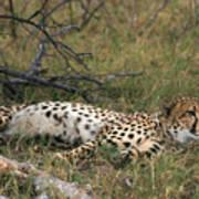 Reclining Cheetah Watching Poster