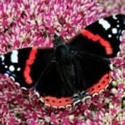 Red Admiral Butterfly Vanesa Atalanta Poster