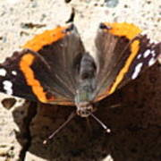 Red Admiral Close Poster