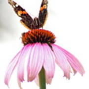 Red Admiral On Echinacea Poster
