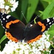 Red Admiral - Topwings Poster