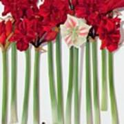 Red Amaryllis With Butterfly Poster