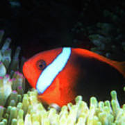 Red And Black Anemonefish, Great Barrier Reef Poster