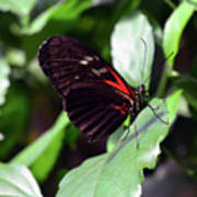 Red And Black Butterfly In The Garden Poster