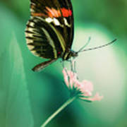 Red And Black Butterfly On White Flower Poster