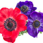 Red And Blue Anemone Flowers  Poster