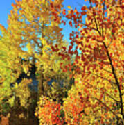 Red And Golden Aspens In Dillon Co Poster