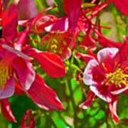 Red And White Columbine At Pilgrim Place In Claremont-california Poster