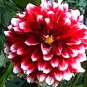 Red And White Dahlia Poster
