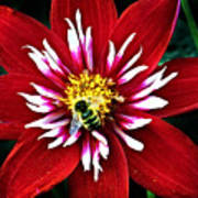 Red And White Flower With Bee Poster