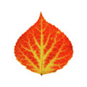 Red And Yellow Aspen Leaf 10 Poster