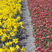 Red And Yellow Tulip Fields Poster