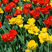 Red And Yellow Tulips  Naperville Illinois Poster
