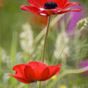 Red Anemone Coronaria In Nature Poster