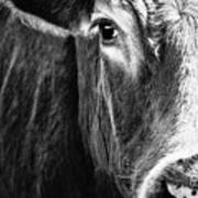 Red Angus In Black And White  Poster