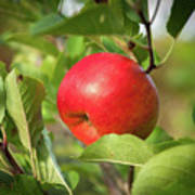 Red Apple On A Tree Poster