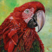 Red  Ara Chloropterus Macaw Poster
