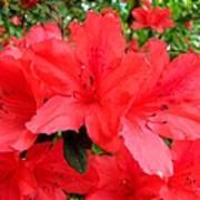 Red Azaleas Poster