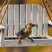 Red Bellied On Swing - 5 Poster by Bill Tiepelman