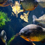 Red Bellied Piranha Fishes Poster