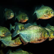 Red-bellied Piranha Poster