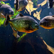 Red Bellied Piranha Or Red Piranha Poster