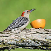 Red-bellied Woodpecker At The Feeder Poster