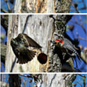 Red Bellied Woodpecker Harassed By A Starling Poster