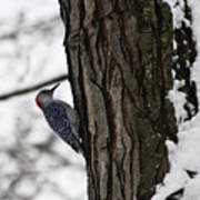 Red Bellied Woodpecker No 1 Poster