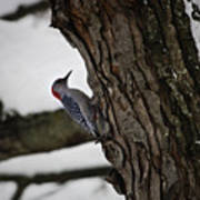 Red Bellied Woodpecker No 2 Poster