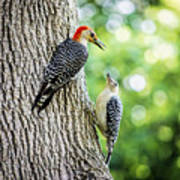 Red-bellied Woodpeckers Poster