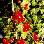 Red Berries And Ivy Poster