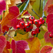 Red Berries Fall Colors Poster
