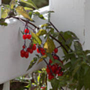 Red Berries On A White Fence Poster