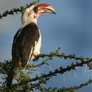 Red Bill Hornbill Poster