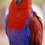 Red Blue Macaw Poster