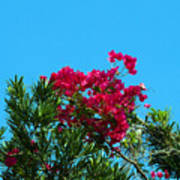Red Bougainvillea Glabra Vine Poster