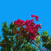 Red Bougainvillea Glabra Vine In Juniperus Virginiana Tree In Co Poster