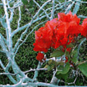 Red Bougainvillea Thorns Poster