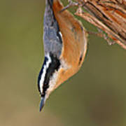 Red-breasted Nuthatch Upside Down Poster