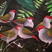 Red-browed Finch Flock Weipa Poster