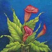 Red Calla Lillies Poster