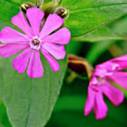 Red Campion - Fairy Flower. Poster
