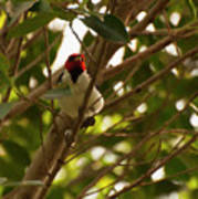 Red-capped Cardinal Digital Oil Poster